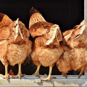 curso-online-Control-Sanitario-Normas-Bioseguridad-Aves-Granjas
