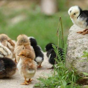 curso-online-produccion-avicola-intensiva