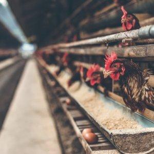 curso-online-gestion-de-mataderos-de-aves-y-conejos-inai007po